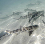 Leopard sharks snorkel experience.