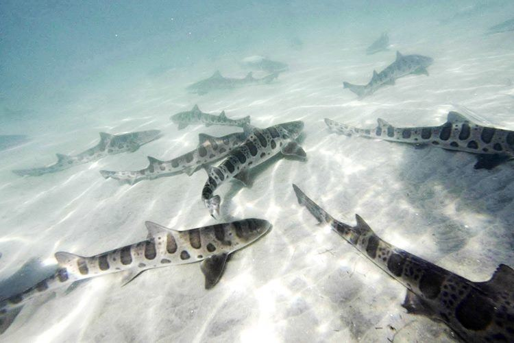 Snorkeling with leopard sharks in the reserve.